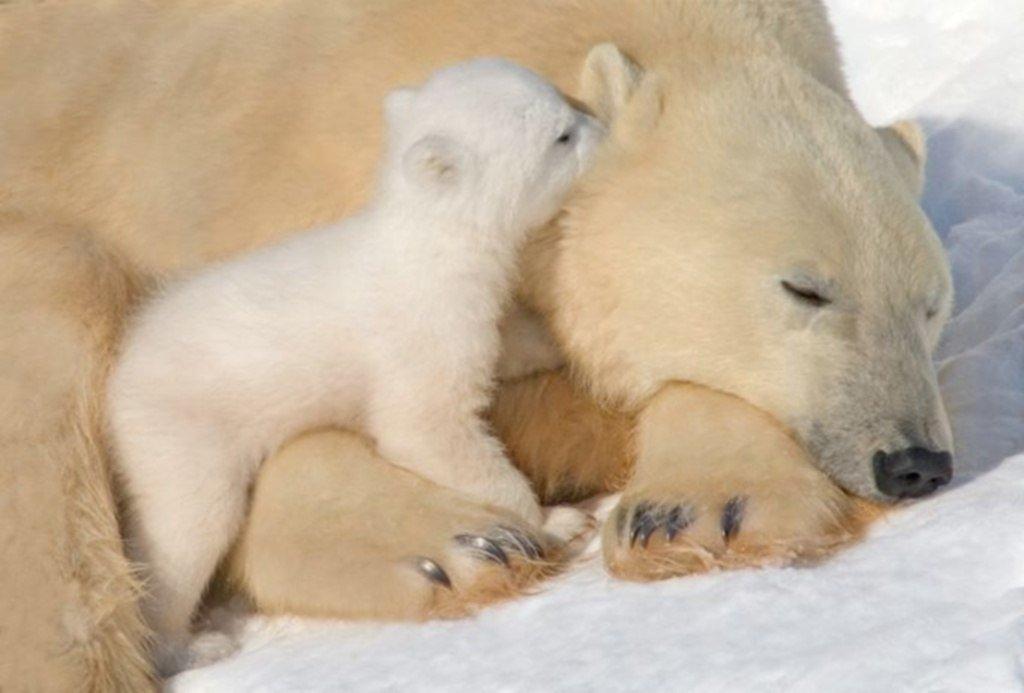 Картинки белые медвежата и мама, открытки