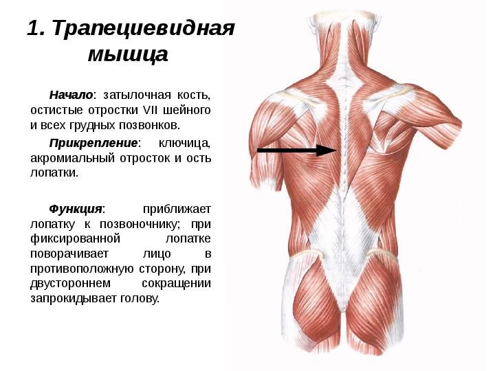 деревянных трапециевидная мышца картинки бесспорно одно это