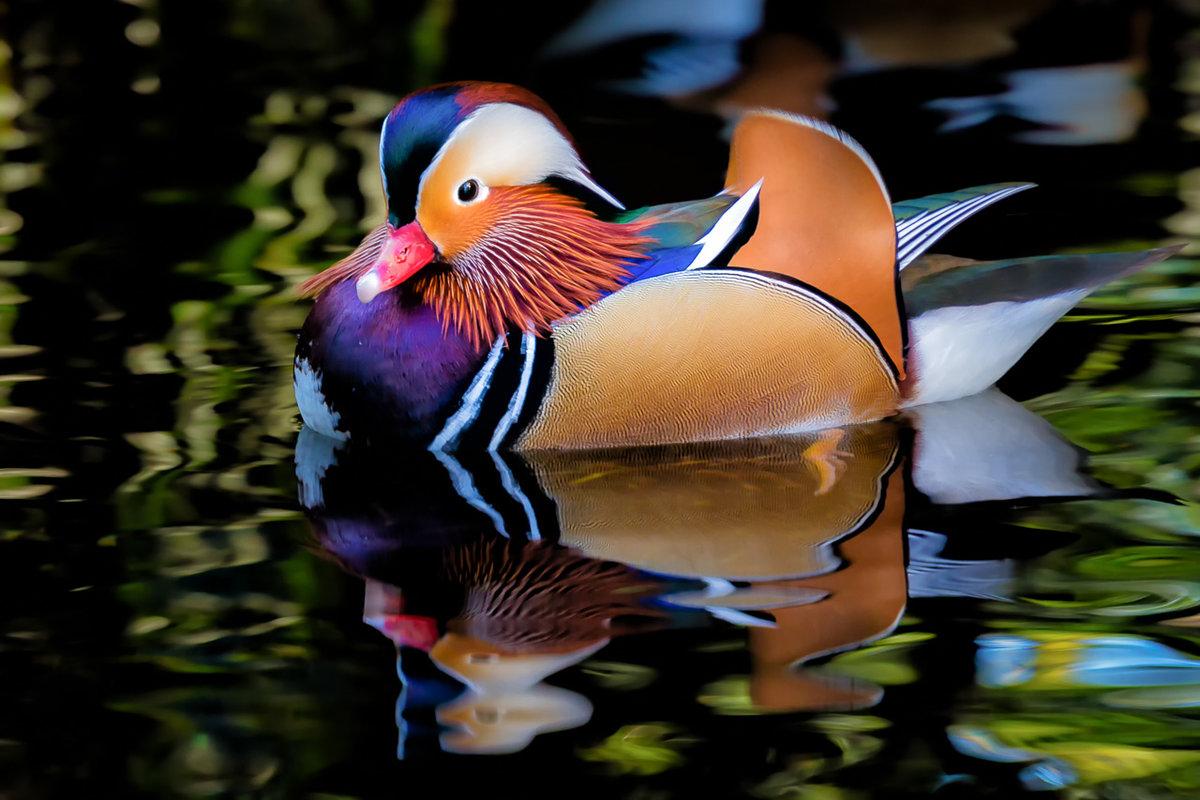 Поздравление картинках, картинки утки мандаринки