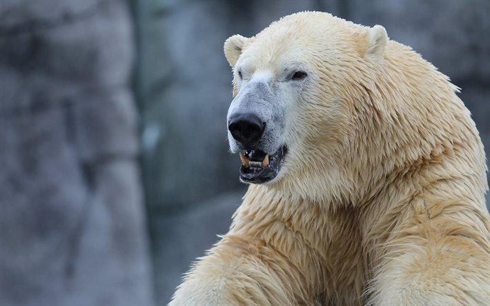 Злые белые медведи картинки
