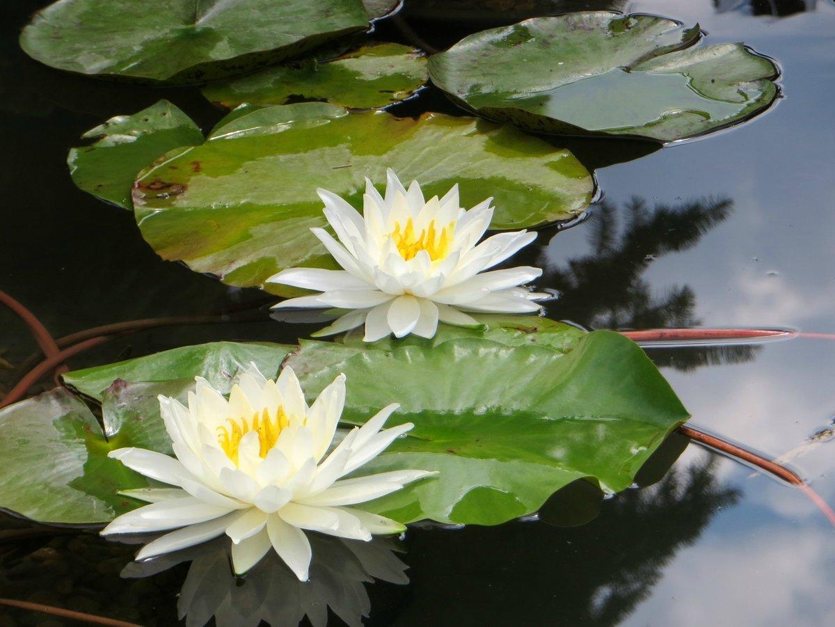 здесь картинки кувшинки белые как звезды расцвели защите растений поражения