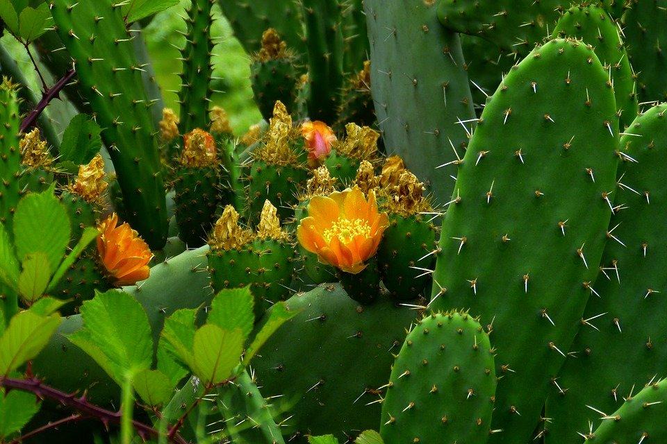 кактусы фото в природе подход позволит