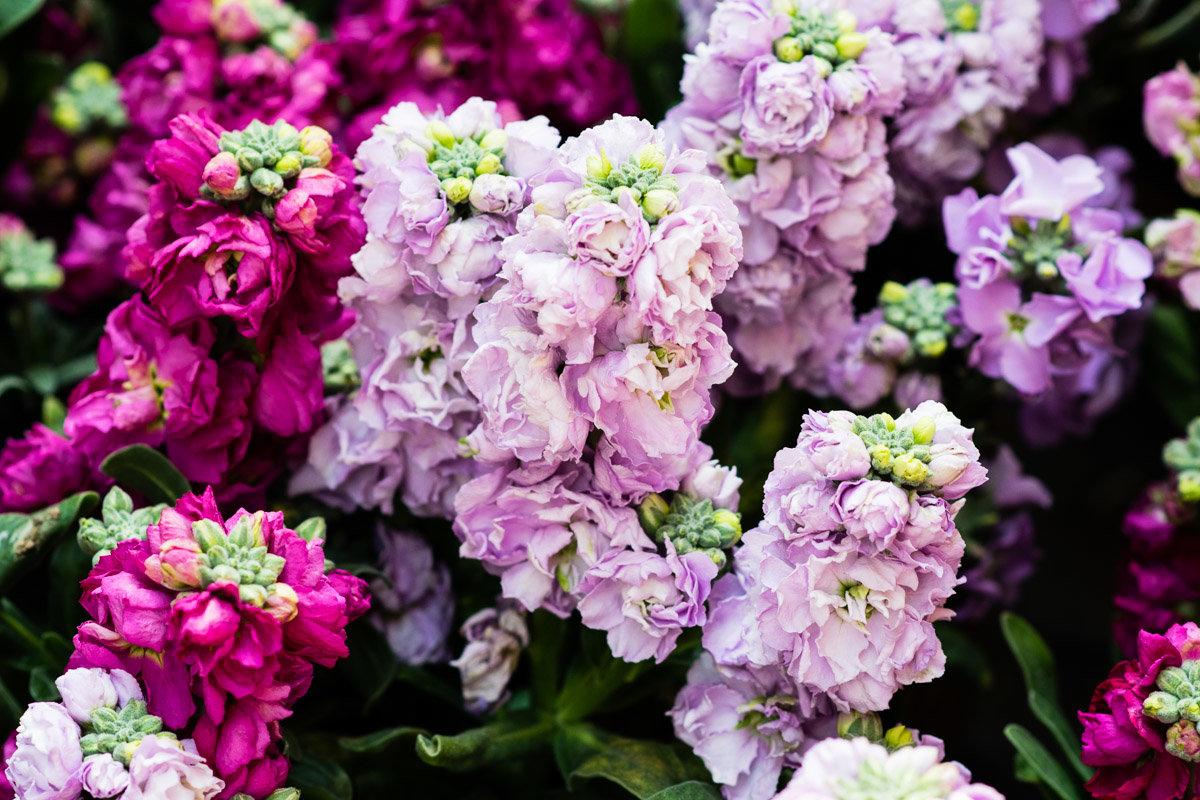 Розовые ароматные садовые цветы фото пройдете