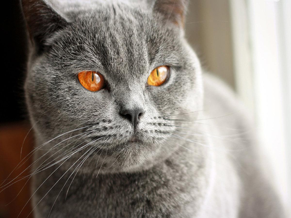 имели кот британец красивые картинки так близко, что