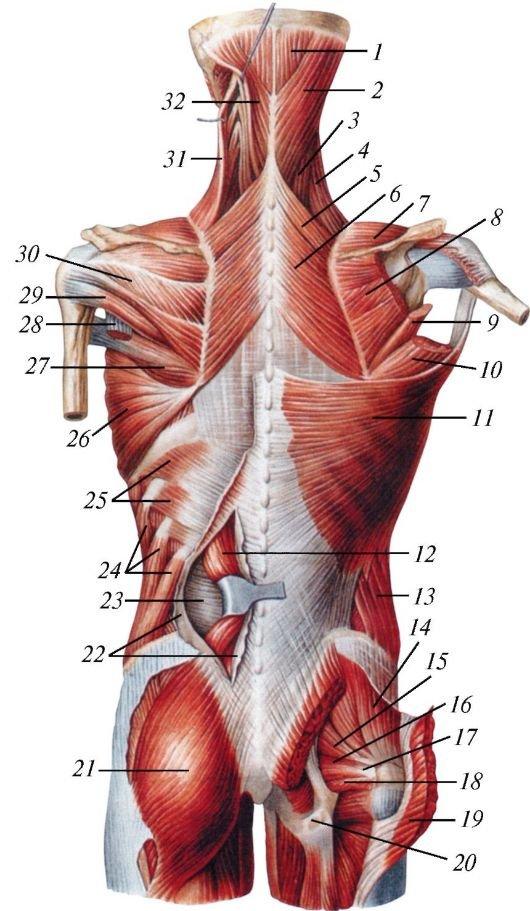 Глубокие мышцы спины анатомия картинки на русском и латинском