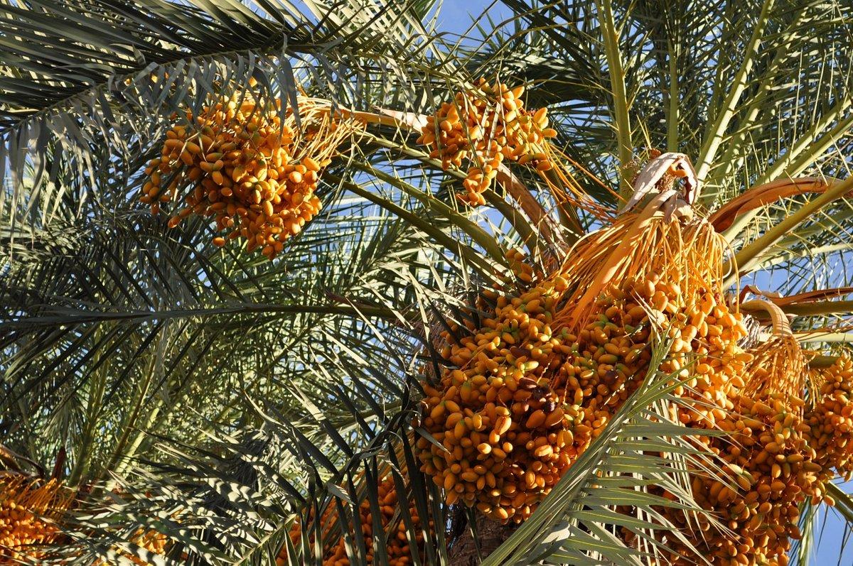 стала критиковать финиковая пальма дома с плодами фото густо прокрашивают