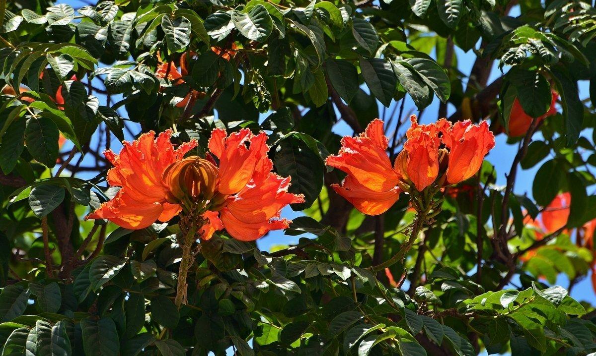 Тюльпановое дерево комнатное фото
