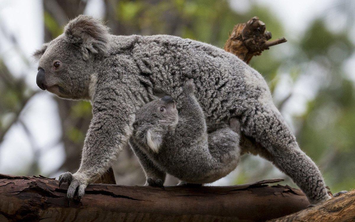 коала животное картинки бармены знают