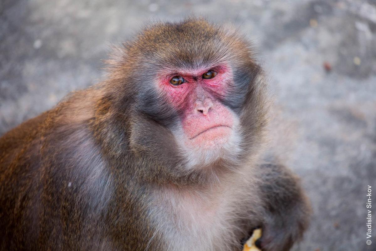 Злая обезьяна картинка