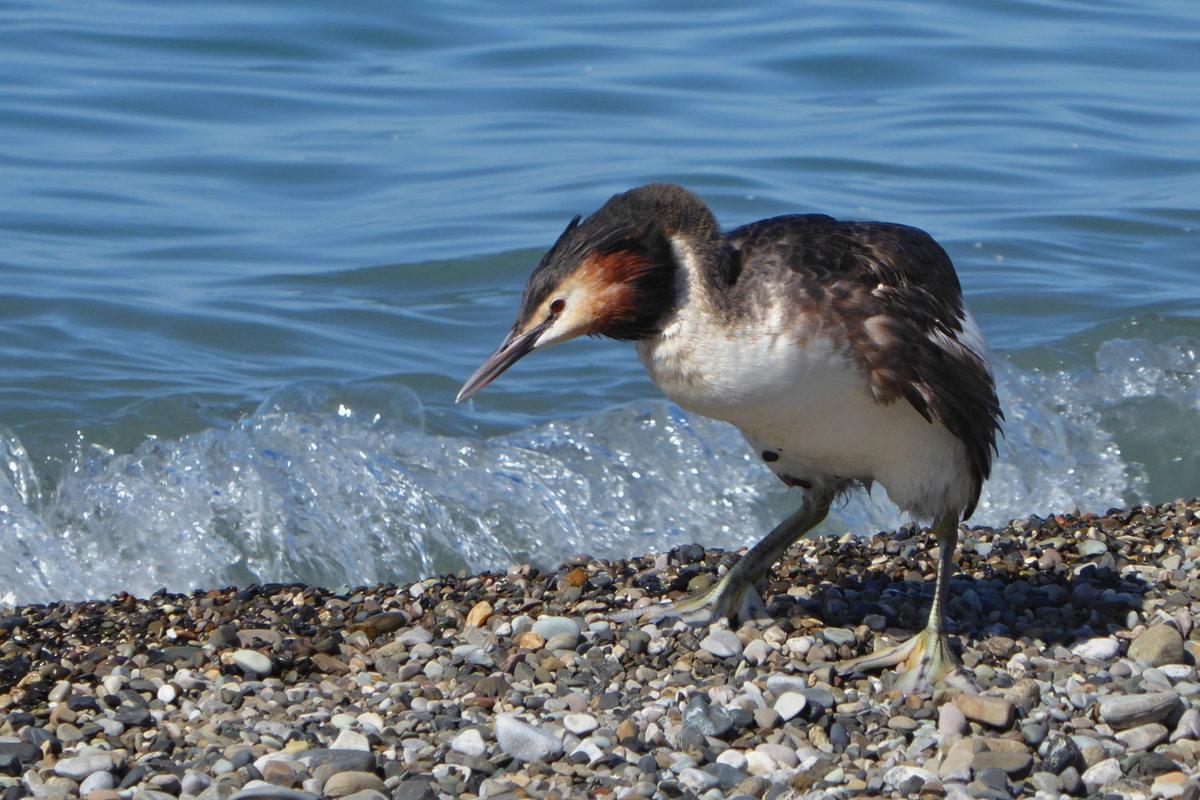 Птицы черного моря фото