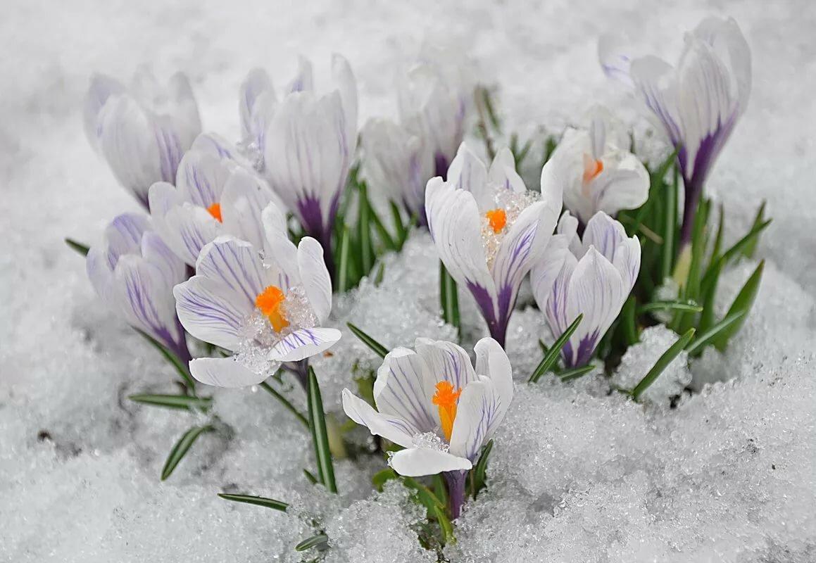 предполагает открытки крокусы в снегу день