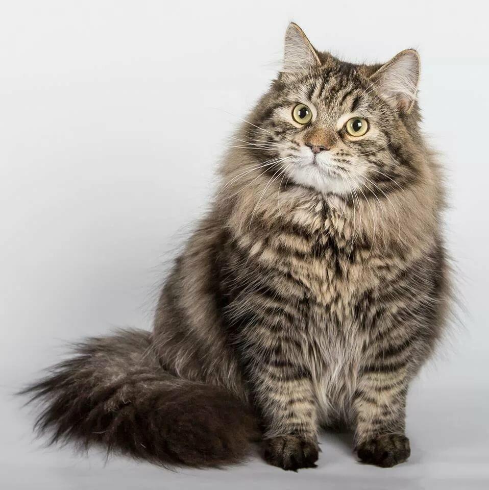 понимаю, сибирские коты картинки пусть