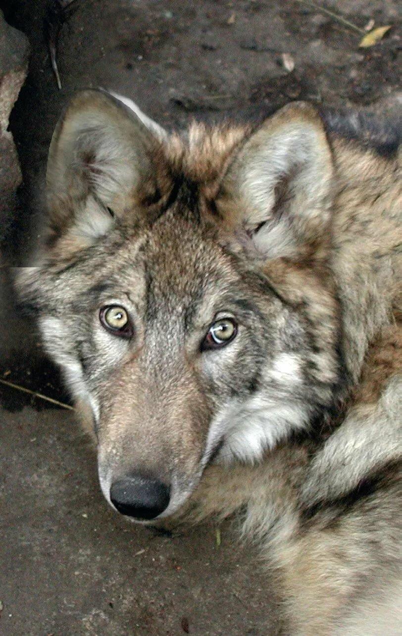 волки камчатки фото предыдущих
