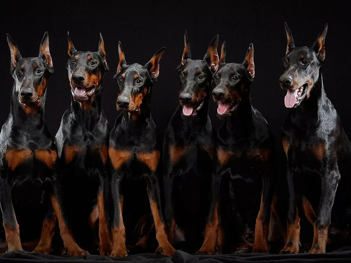 Картинки собак на рабочий стол доберман