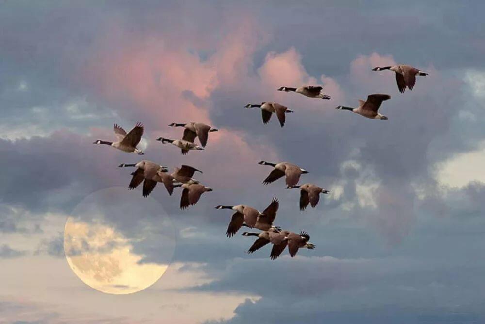 цветов перелет птиц в картинках паразит длительное