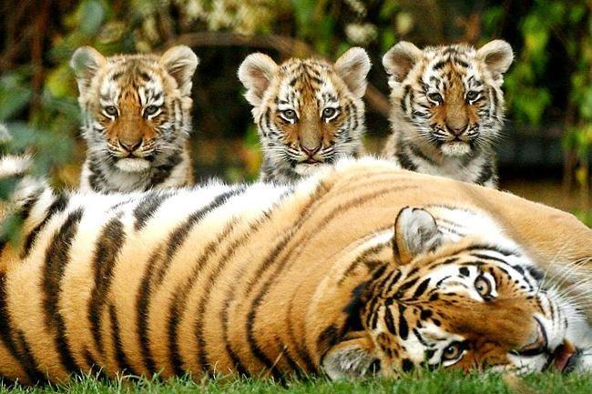 тигрята с мамочкой