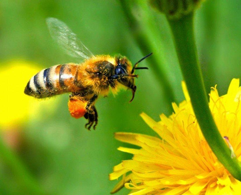 Пчелы фото картинки