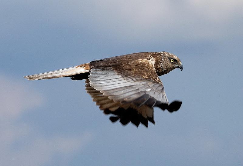 хищные птицы липецкой области фото с названиями охватывают широкий