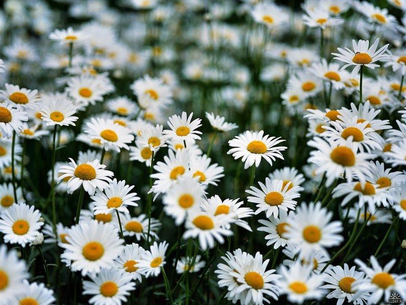 Ромашка цветок полевой