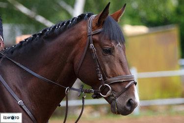 лошадь в сбруе картинки