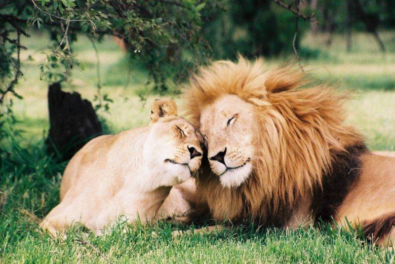 Картинки лев с львицей любовь, рено смешные