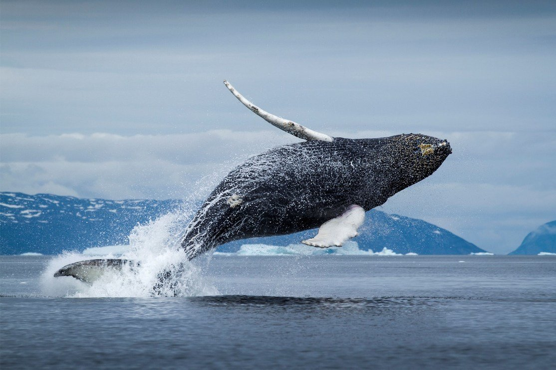 humpback whale facts - 480×360