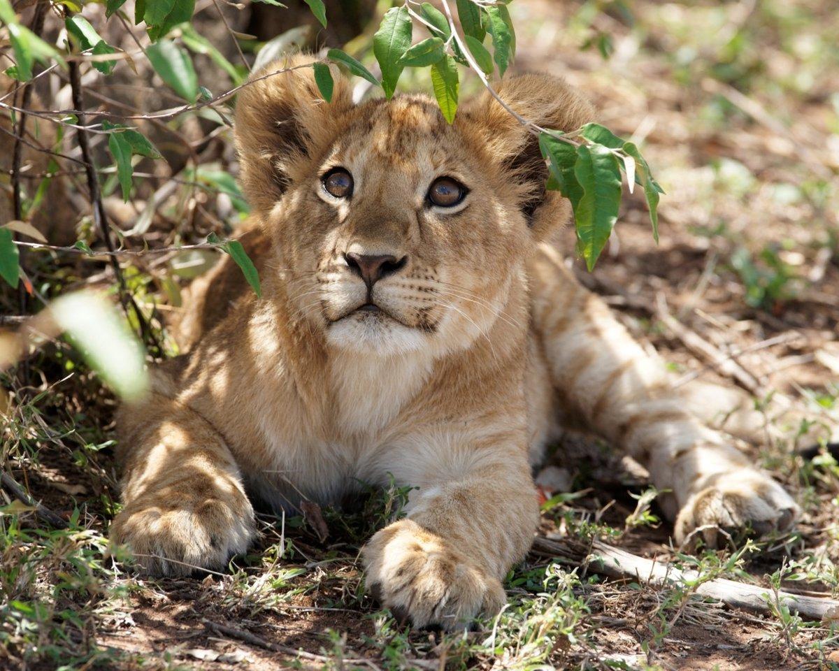 Фото львенка в хорошем качестве