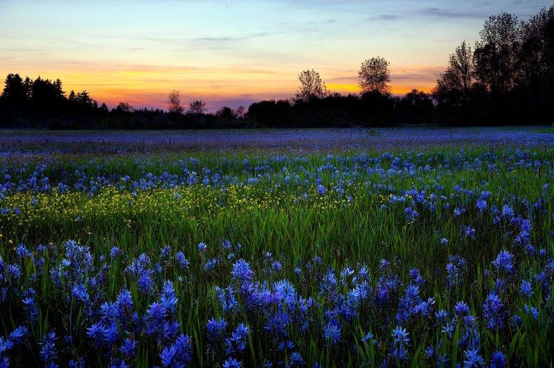 Поле голубых цветов летом на рассвете солнца
