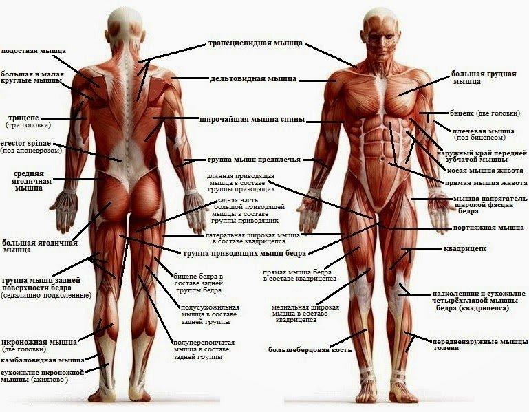 Структура мышцы в картинках