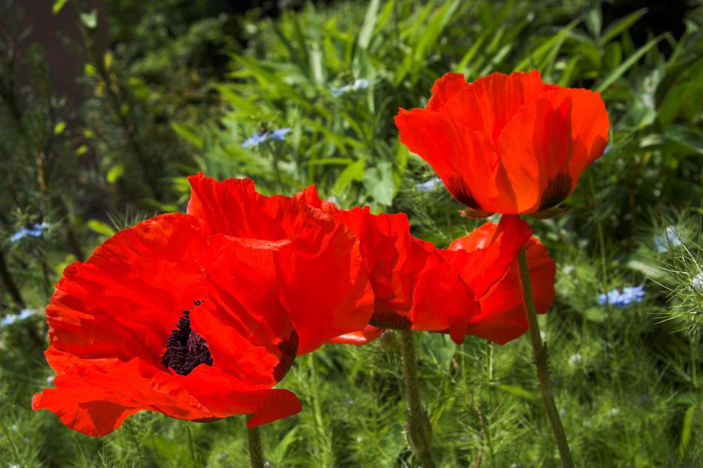 совместных картинки цветка мак садовый мансарду
