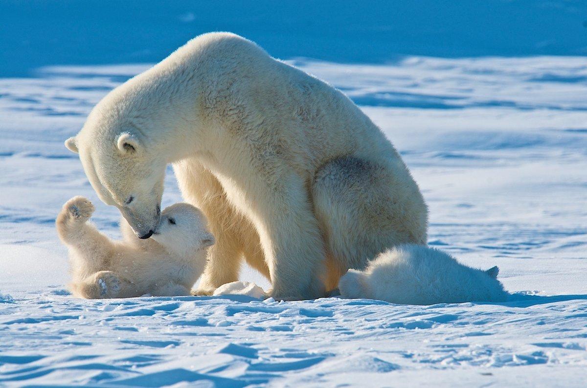 Белый медвежонок играет с медведицей