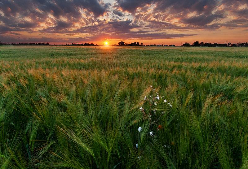 Алый закат на пшеничным полем