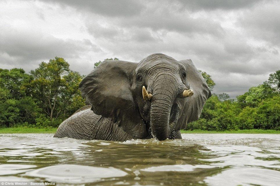 Картинка слоны купаются