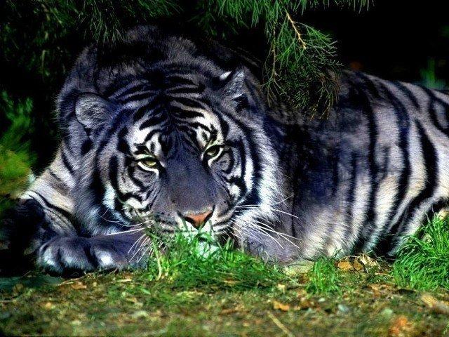 Голубой Тигр. Очень редкий в природе и самый красивый.