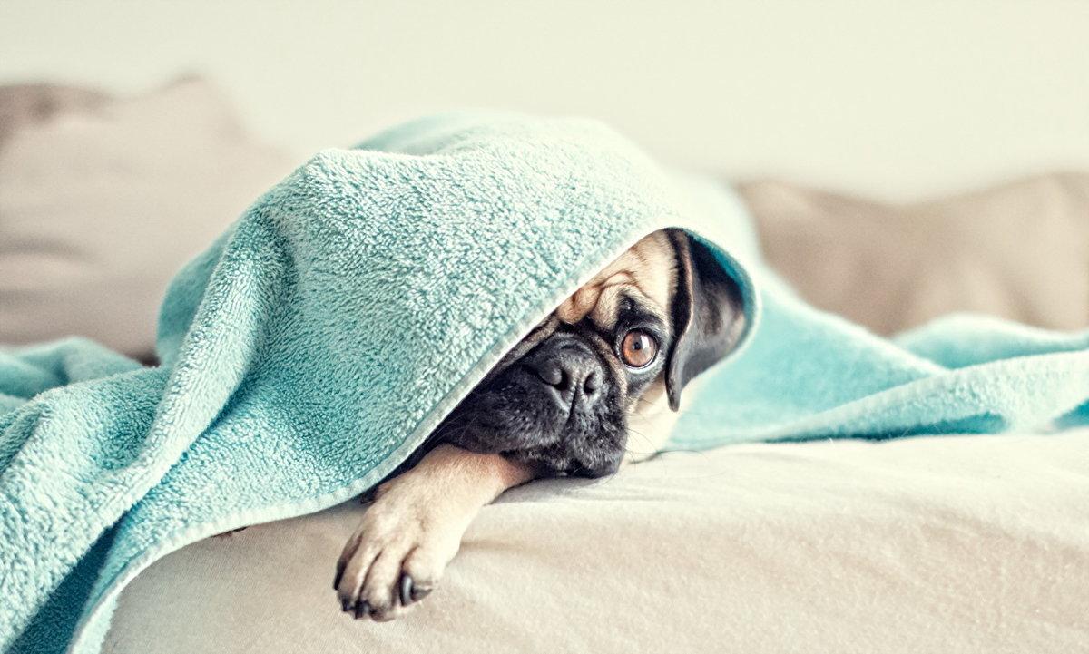Картинки красивые с мопсами в одеяле на рельсах