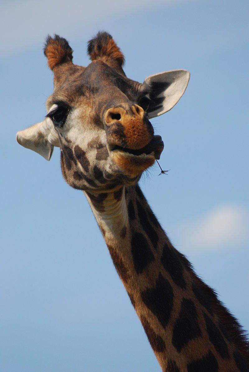 Картинка жирафа прикольная на аву
