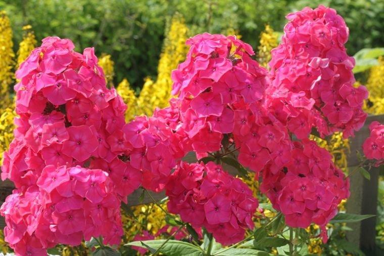 Флокс друммонда: выращивание и уход в открытом грунте. РАСТЮНЬКА 32