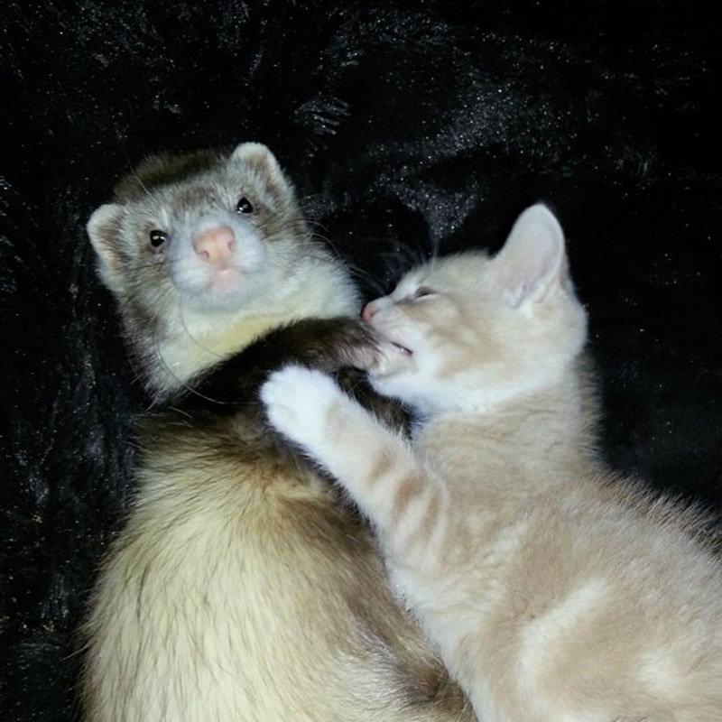 Картинки хорьки и коты