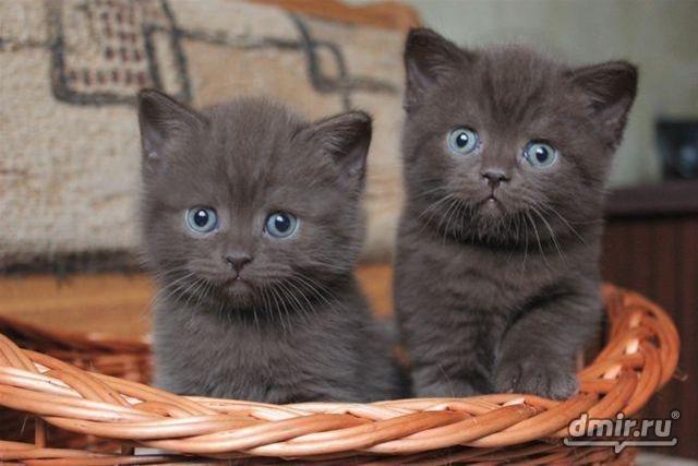 Коты мейн кун фото короли домашних кошек