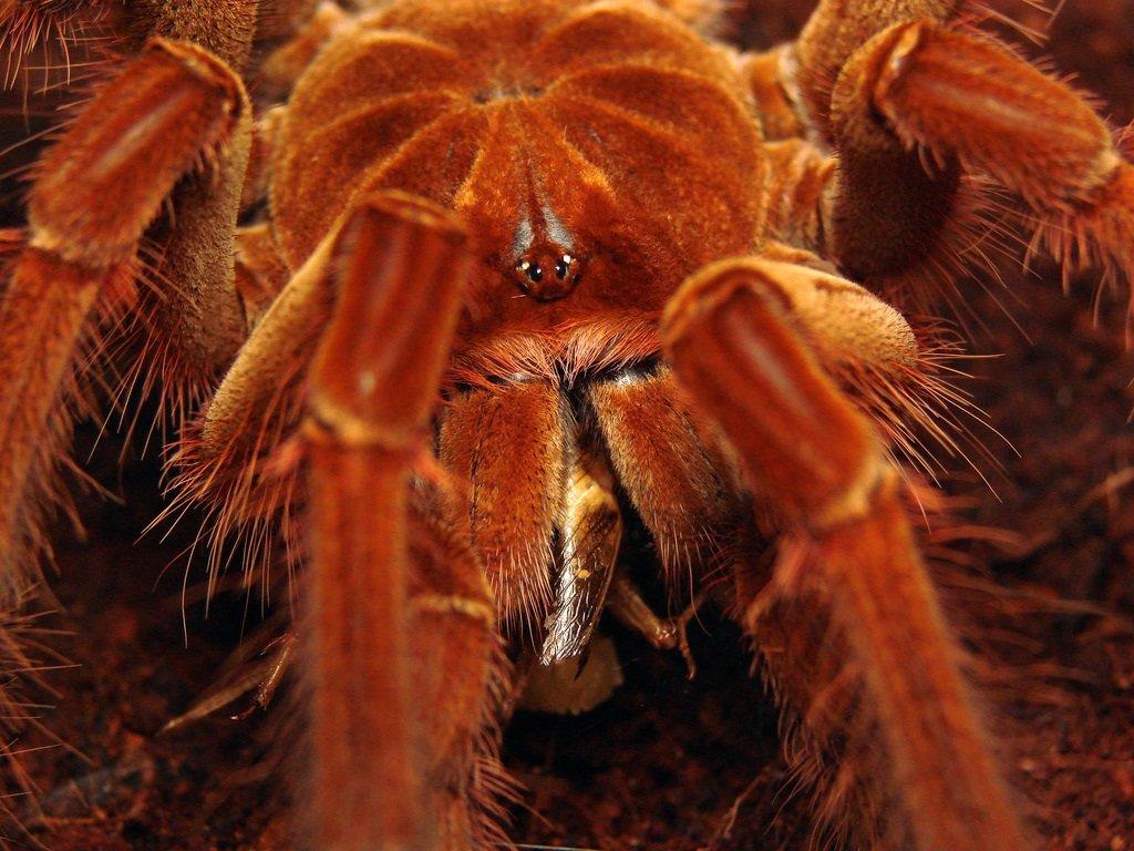 Самые большие пауки в россии
