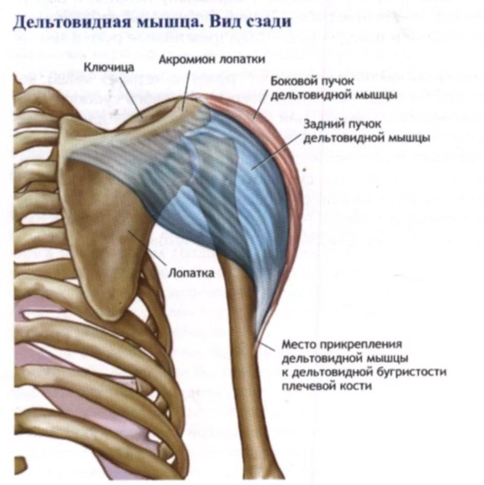 всё дельтовидная мышца с картинками передать