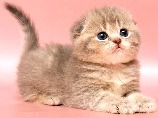 Картинки маленькие котята вислоухие котята