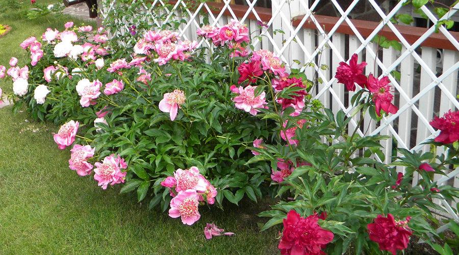 Выращивают ли пионы дома