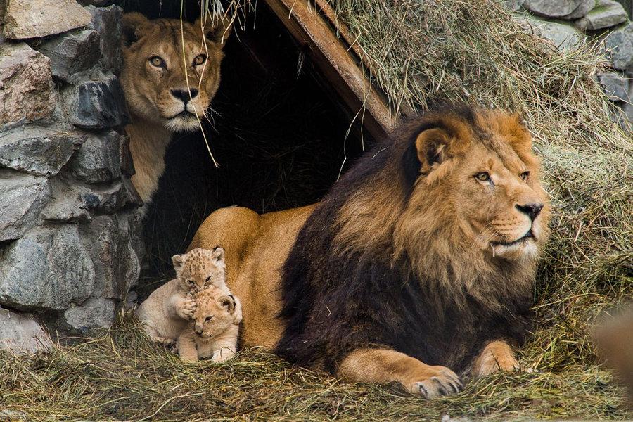 картинки лев львица львята нужное