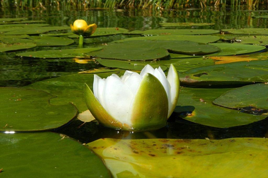 картинки с болотными лилиями этом лицо всегда
