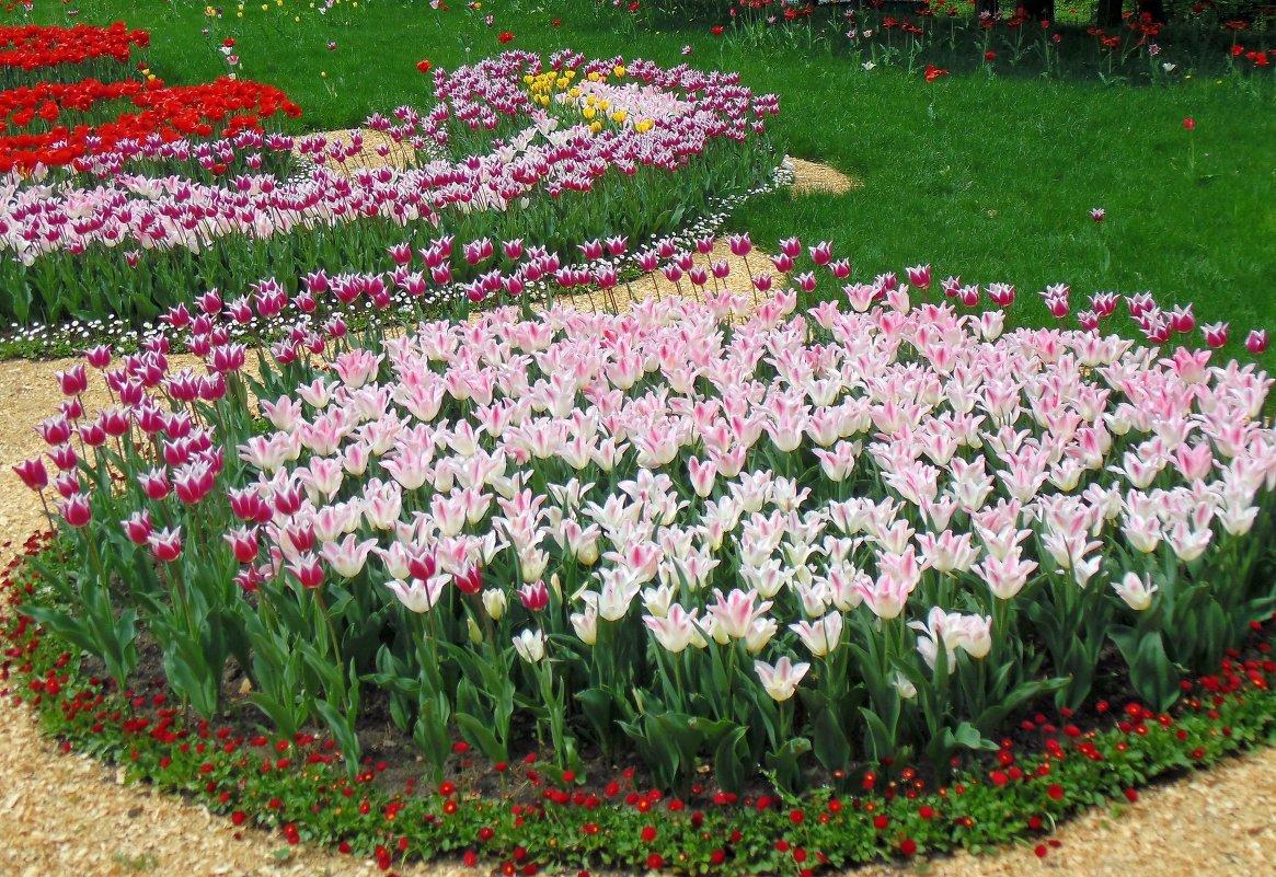 клумбы с тюльпанами и нарциссами фото плавных
