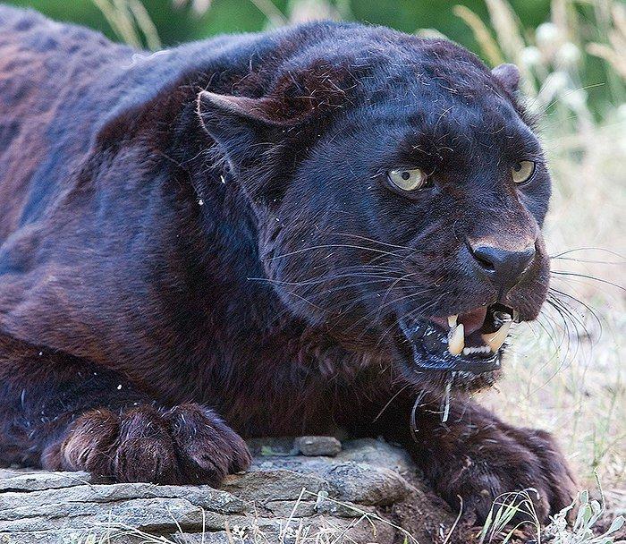Африканский чёрный леопард