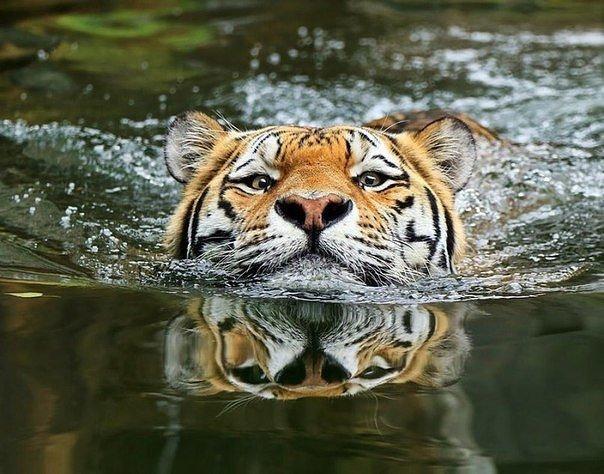 Тигры Ñорошие пловцы и совсем не бояться воды
