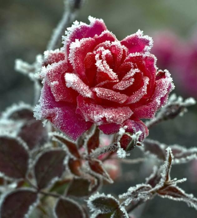 Яхтами, розы на снегу картинки фото