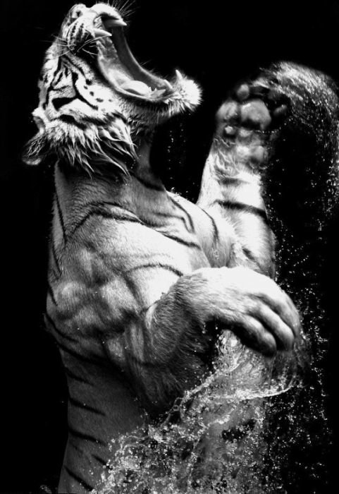 Профессиональная фотография - тигр и вода.
